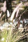 Fuchsschwanz Bush Stockfoto