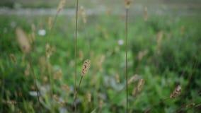 Fuchsschwanz-Gras, das im Wind durchbrennt stock video