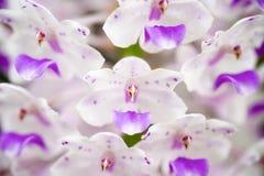 Fuchsschwanz-Orchidee stockfoto