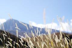 Fuchsschwanzgras im wilden Stockfoto