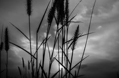 Fuchsschwanzunkraut am Abend lizenzfreie stockfotografie