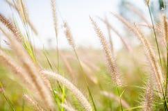 Fuchsschwanzunkraut in der Natur stockfoto