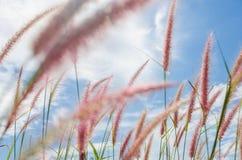 Fuchsschwanzunkraut in der Natur stockbild