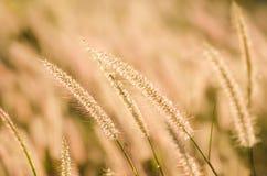 Fuchsschwanzunkraut in der Natur stockfotografie
