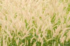 Fuchsschwanzunkraut in der Natur lizenzfreies stockbild