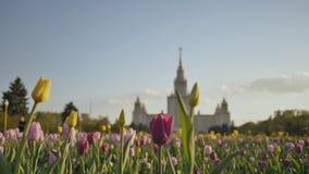 Fucilazione contro un fondo dei tulipani colorati multi al tramonto Università di Stato di Lomonosov, costruzione iconica e archivi video