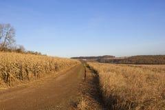 Fucilazione del fagiano nei wolds di Yorkshire Immagini Stock