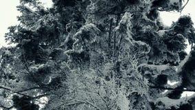 Fucilazione della natura degli abeti dal quadrocopter video d archivio
