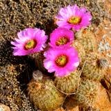 Fucsia blommande kaktus royaltyfria foton