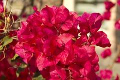 Fucsia 2 de Flores imagem de stock royalty free