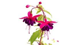 Fucsia del fiore Fotografie Stock Libere da Diritti