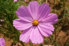 Fucsia del fiore dell'universo Fotografie Stock