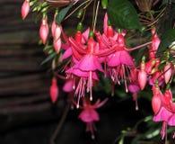 Fucsia en la floración imagen de archivo libre de regalías