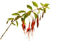 Fucsia-Flores Foto de archivo libre de regalías