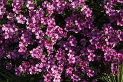 Fucsia flowers called Campanula or bellflower Royalty Free Stock Image