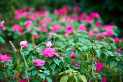 Fuchsia flowers. Fucsia flowers in a Green Garden at day Royalty Free Stock Image