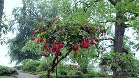Fucsia hermoso del arbusto con las flores rosadas en Irlanda Fotografía de archivo