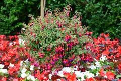 Fucsia oavkortad blom på höjden av sommar i en engelsk trädgård arkivfoto