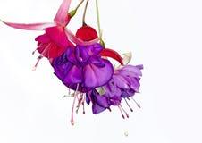 Fucsia rojo y púrpura foto de archivo