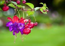 Fucsia rossa e viola Fotografia Stock Libera da Diritti