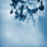 Fucsia su un fondo blu molle Fotografie Stock Libere da Diritti