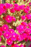 Fucsia sunbeams. On brigth midday Stock Photography