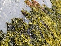 fucus водорослей коричневый Стоковые Изображения