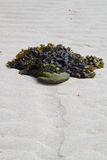 Fucus seaweed clinging to a stone Stock Image