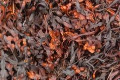 Fucusvesiculosusen är ett släkte av bruna alger som över hela världen finnas på de steniga kusterna Arkivbild