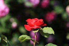 Fue a la estación de las rosas Fotografía de archivo
