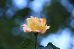Fue a la estación de las rosas Fotografía de archivo libre de regalías