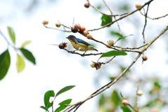 Fuego-breasted Flowerpecker Fotografía de archivo