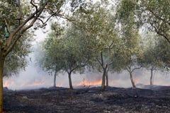 Fuego en arboleda verde oliva Fotos de archivo libres de regalías