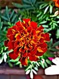 Fuego en una flor foto de archivo libre de regalías