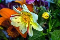 Fuegos artificiales Dahlia Flower Fotos de archivo