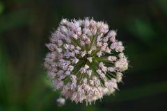 Fuegos artificiales de la flor Fotografía de archivo libre de regalías