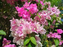 Fueng Fah Flower stock photos