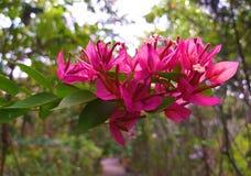 Fuengfah Slut upp rosa bougainvilleablommor arkivbilder