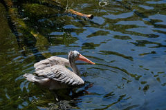 FUENGIROLA, ANDALUCIA/SPAIN - 4 DE JULHO: Pelicano Ponto-faturado Pele Fotografia de Stock Royalty Free