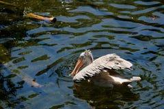 FUENGIROLA, ANDALUCIA/SPAIN - 4 DE JULHO: Pelicano Ponto-faturado Pele Imagens de Stock