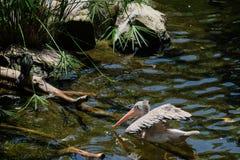 FUENGIROLA, ANDALUCIA/SPAIN - 4 DE JULHO: Pelicano Ponto-faturado Pele Fotos de Stock Royalty Free