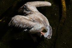 FUENGIROLA, ANDALUCIA/SPAIN - 4 DE JULHO: Pelicano Ponto-faturado Pele Imagem de Stock Royalty Free