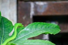 FUENGIROLA ANDALUCIA/SPAIN - JULI 4: Dendroaspis för grön Mamba Royaltyfria Bilder