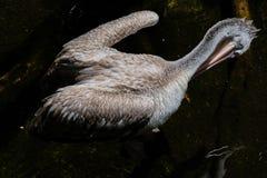 FUENGIROLA ANDALUCIA/SPAIN - JULI 4: Fläck-fakturerad pelikan Pele Arkivbild
