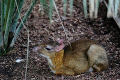 FUENGIROLA ANDALUCIA/SPAIN - JULI 4: Java Mouse Deer Tragulus Fotografering för Bildbyråer