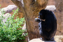 FUENGIROLA ANDALUCIA/SPAIN - JULI 4: Schimpans som vilar i Royaltyfria Bilder