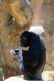 FUENGIROLA ANDALUCIA/SPAIN - JULI 4: Schimpans som vilar i Arkivfoto