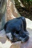 FUENGIROLA ANDALUCIA/SPAIN - JULI 4: Schimpans som vilar i Royaltyfri Bild