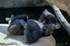 FUENGIROLA ANDALUCIA/SPAIN - JULI 4: Schimpans som vilar i Arkivbild