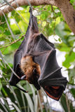 FUENGIROLA, ANDALUCIA/SPAIN - JULY 4 : Flying Fox Bat Pteropus Royalty Free Stock Photo